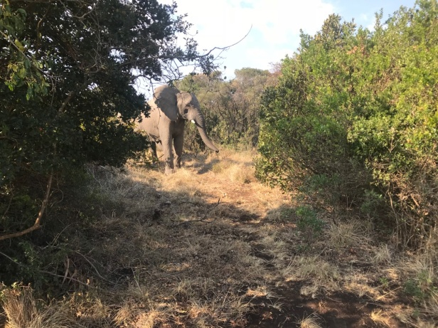 An elephan in the bush at Inkewenkweze Private Game Reserve