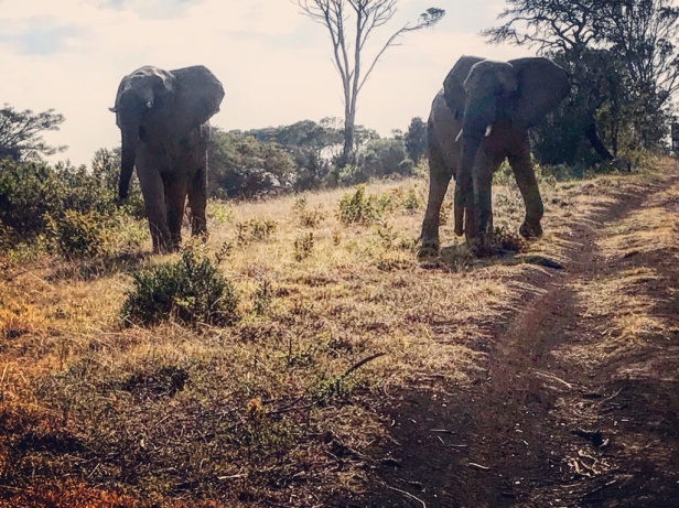 Elephants at Inkwenkweze Private Game Reserve